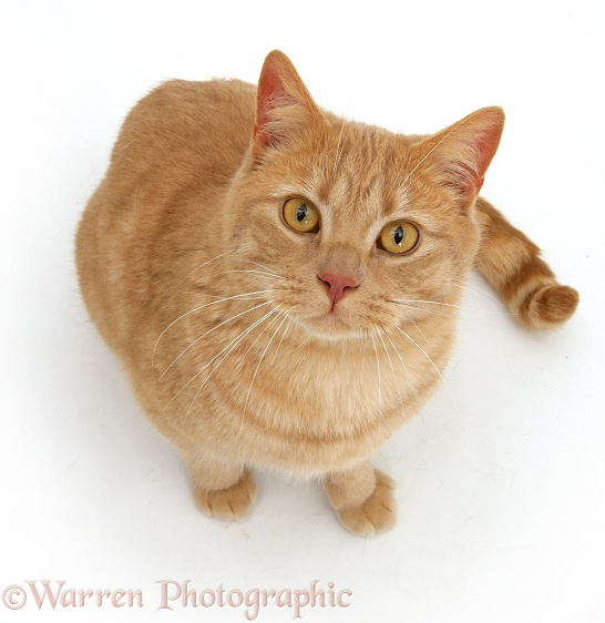Cream spotted British shorthair cat Horatio looking up, white background