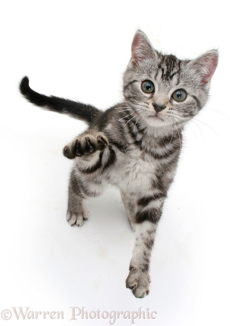 Silver tabby kitten reaching up, white background