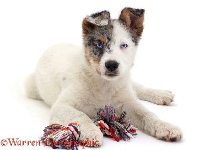 Border Collie pup Kelpi with ragger, white background