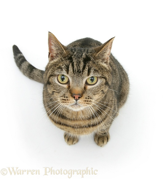 Tabby cat sitting looking up photo - WP09281 Tabby Cat Sitting Up