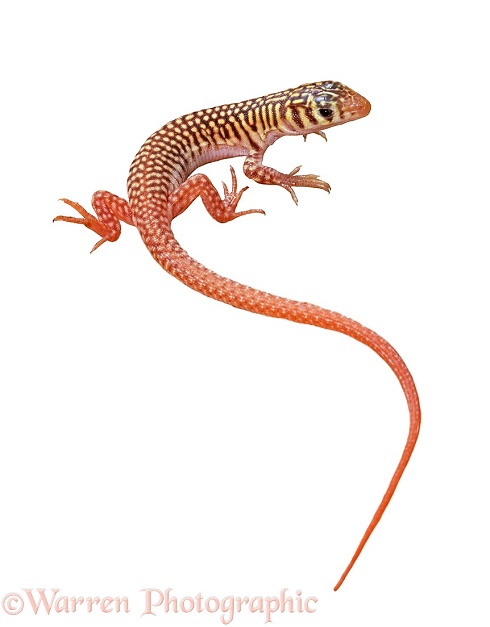 Western Sandvelt Lizard (Nucras tessellata).  Namib Desert, white background