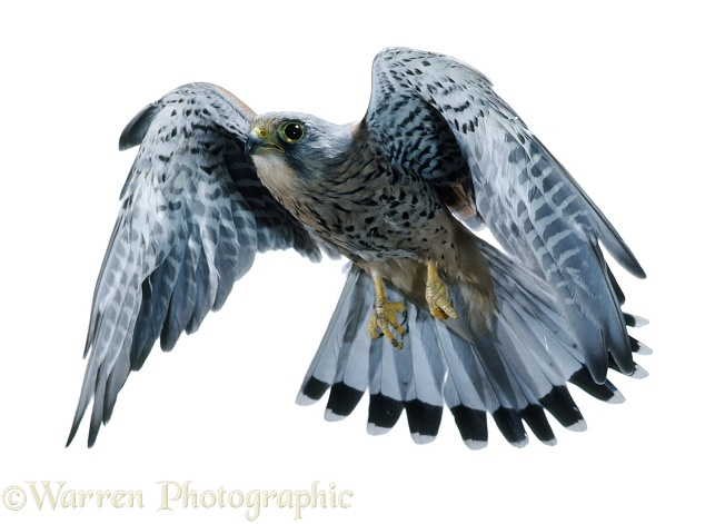 Kestrel (Falco tinnunculus) in flight, white background