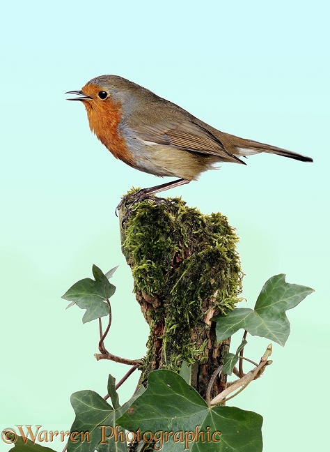 Robin (Erithacus rubecula) singing from a mossy perch.  Europe