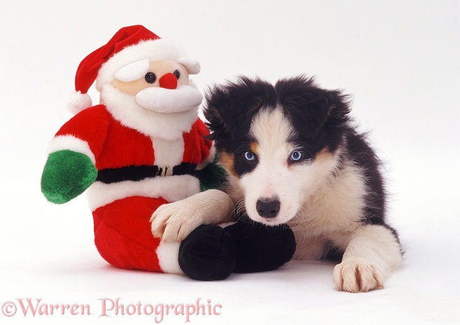 Border Collie pup Ishmael with Santa toy, white background