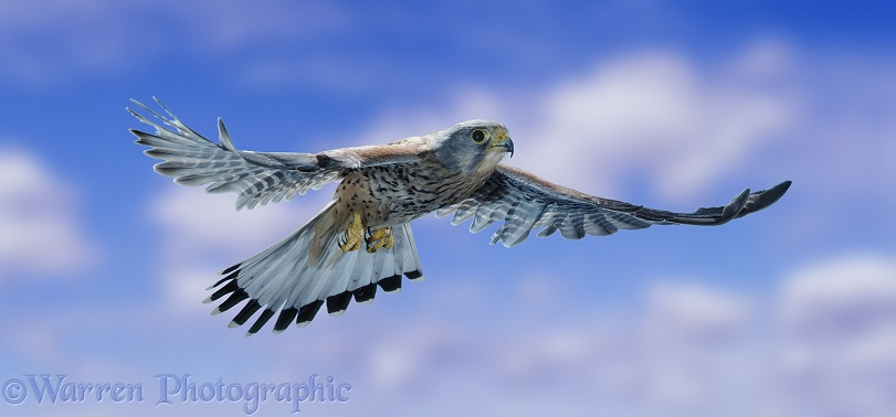 Kestrel (Falco tinnunculus) in flight