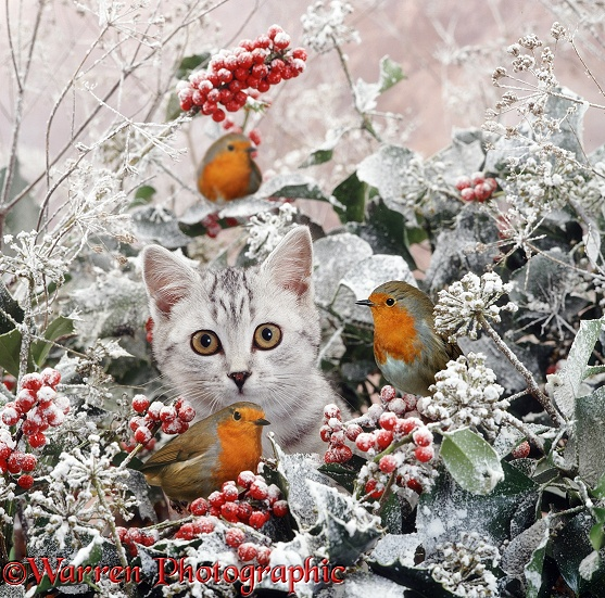 Portrait of silver spotted kitten (Peregrine x Thisbe), 4 months old, among snowy holly berries, ivy flowers and robins