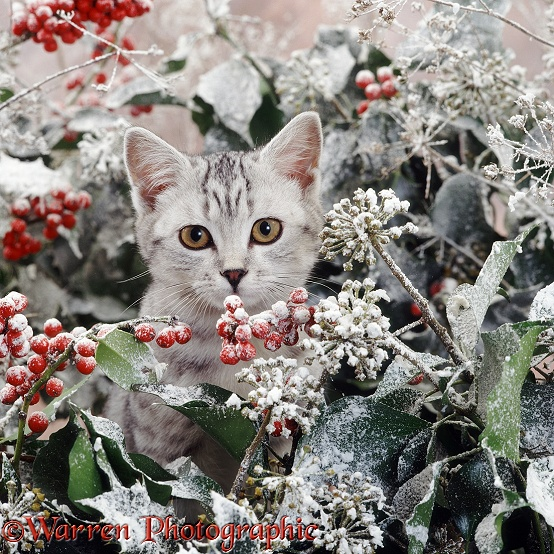 Portrait of silver spotted kitten (Peregrine x Thisbe), 4 months old, with snowy holly and ivy berries