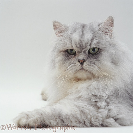 Silver tabby chinchilla Persian male cat, Cosmos, white background
