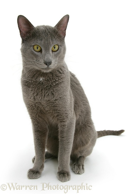 Blue Tonkinese male cat Del sitting, white background