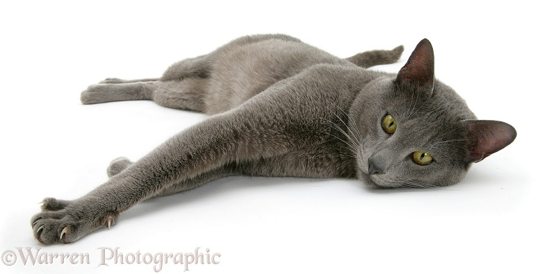 Blue Tonkinese male cat, Del, lying, white background