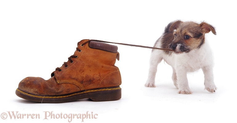Jack Russell Terrier pup pulling a shoelace, white background