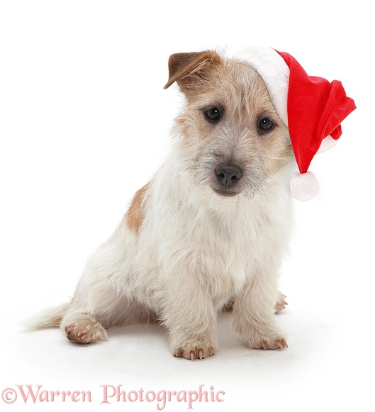 Jack Russell Terrier, Daisy, with a Father Christmas hat on, white background