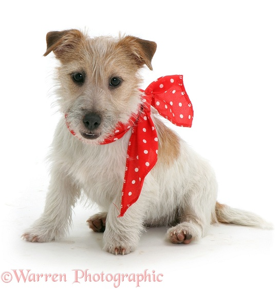 Jack Russell with red bow on, white background