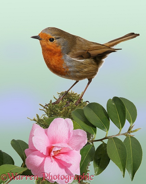 Robin (Erithacus rubecula) on a mossy perch with Camellia.  Europe