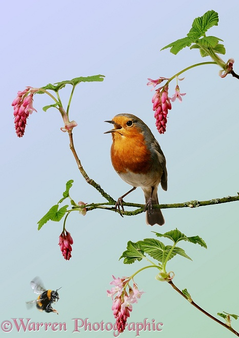 Robin (Erithacus rubecula) singing from its perch on Flowering Currant.  Europe
