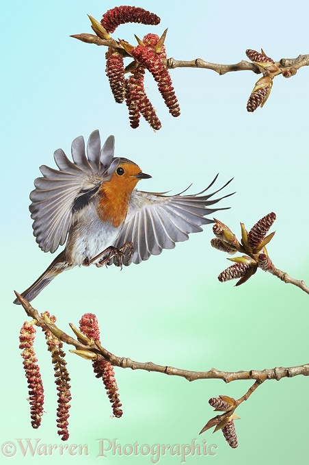 Robin (Erithacus rubecula) about to alight among Poplar catkins in spring.  Europe