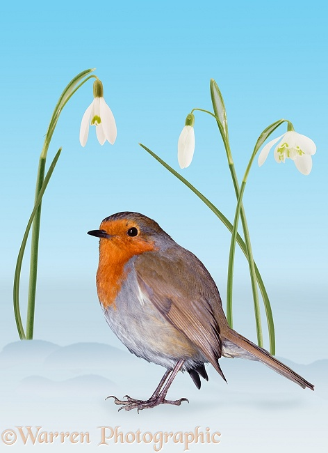 Robin (Erithacus rubecula) with Snowdrops.  Europe