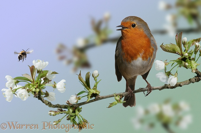European Robin (Erithacus rubecula) singing from its perch on a flowering Wild Cherry, while bumblebee visits flowers