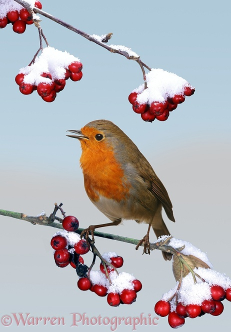 European Robin (Erithacus rubecula) singing from a snow-covered Cotoneaster bush