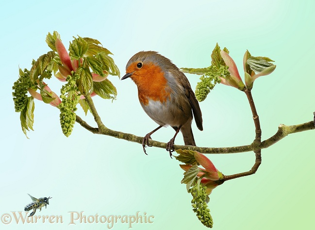 Robin (Erithacus rubecula) watching a Honey Bee from flowering Sycamore in spring.  Europe