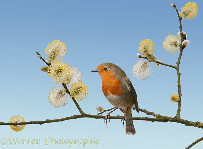Robin (Erithacus rubecula) on male Goat Willow (Salix caprea) in spring