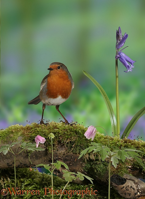 Robin (Erithacus rubecula) with Wood Anemone, Bluebell and Moschatel in spring.  Europe