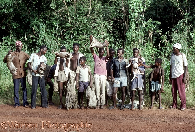 Bush meat hunting team in western Sierra Leone with nets and day's catch of four Cutting Grass (Thryonomys swinderianus).  West Africa