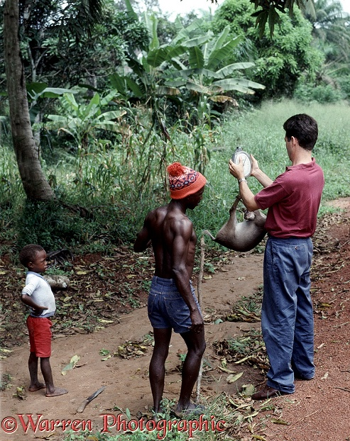 Bush meat hunting in Sierra Leone.  Researcher weighing duiker.  West Africa