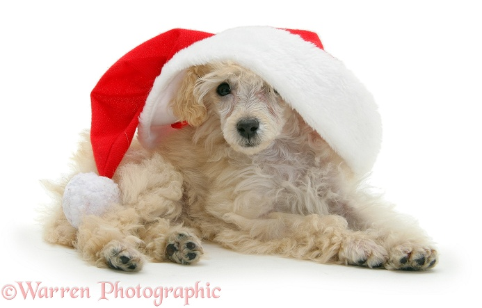 Poodle with Father Christmas hat, white background