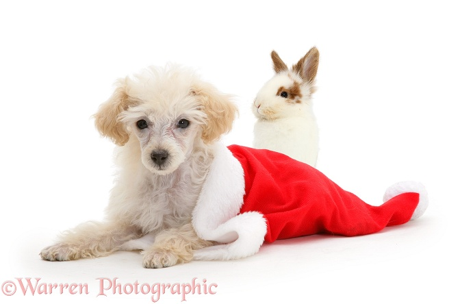 Poodle lying in a Father Christmas hat with young rabbit, white background