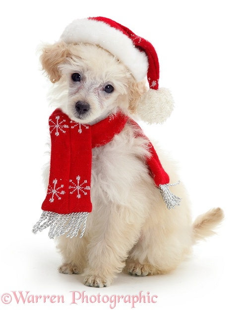 Poodle with scarf and Father Christmas hat, white background