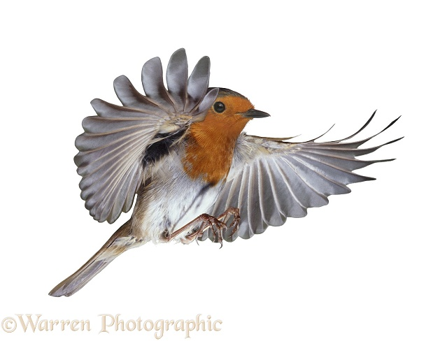 European Robin (Erithacus rubecula) in flight, white background