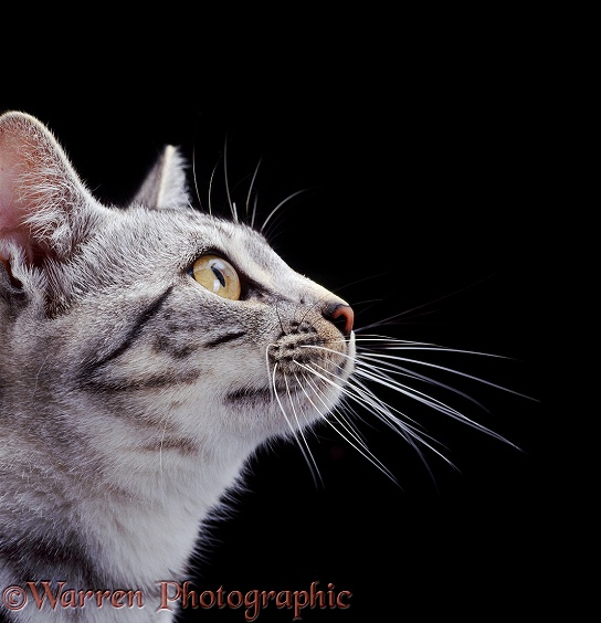 Profile portrait of silver tabby Bengal-cross British Shorthair cat Asphodel, showing whiskers sprouting from a pigmented spot
