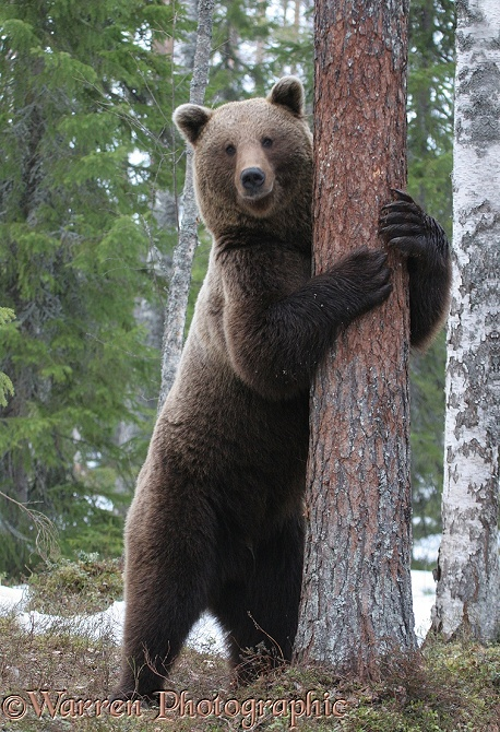Brown Bear (Ursus arctos) hugging a pine tree.  Finland