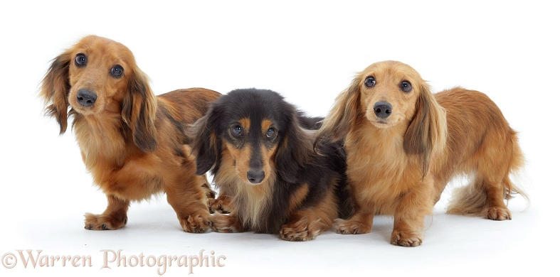 Three miniature longhaired Dachshunds, white background