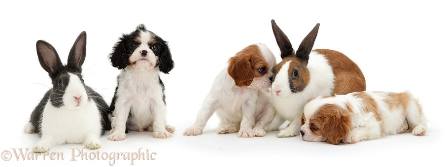 Cavalier King Charles Spaniel pups and Dutch rabbits, white background