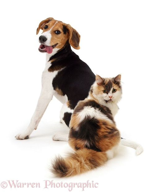 Beagle and cat