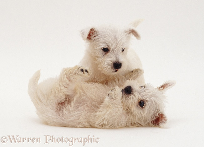 West Highland White Terrier pups playing, white background