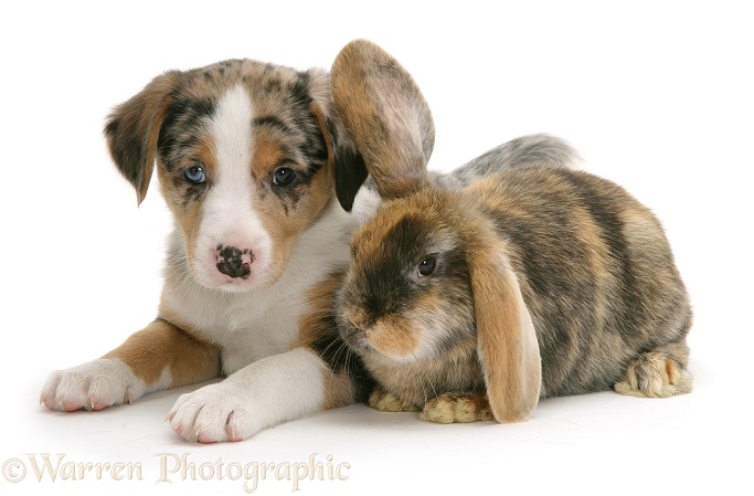 Border Collie puppy and rabbit, white background