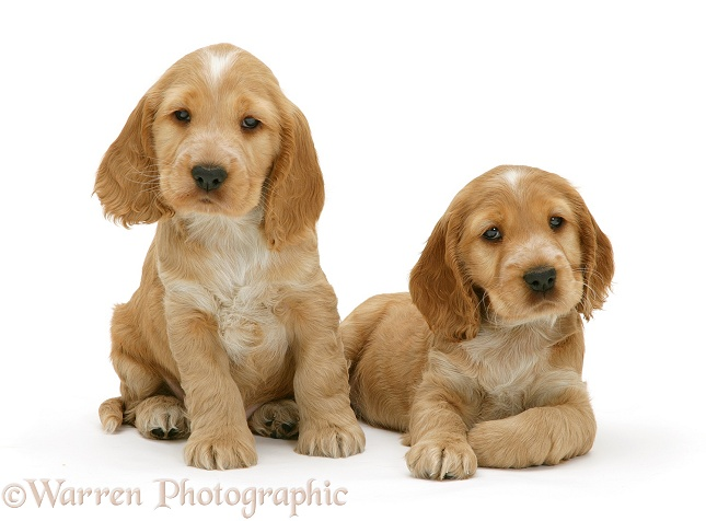 WP09500 Golden Cocker Spaniel puppies Golden Cocker Puppies