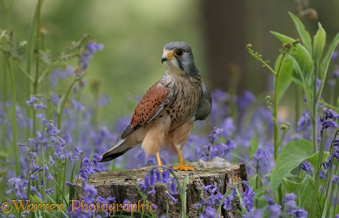 Kestrel (Falco tinnunculus) among Bluebells (Hyacinthoides non-scripta).  Europe, Asia and  Africa