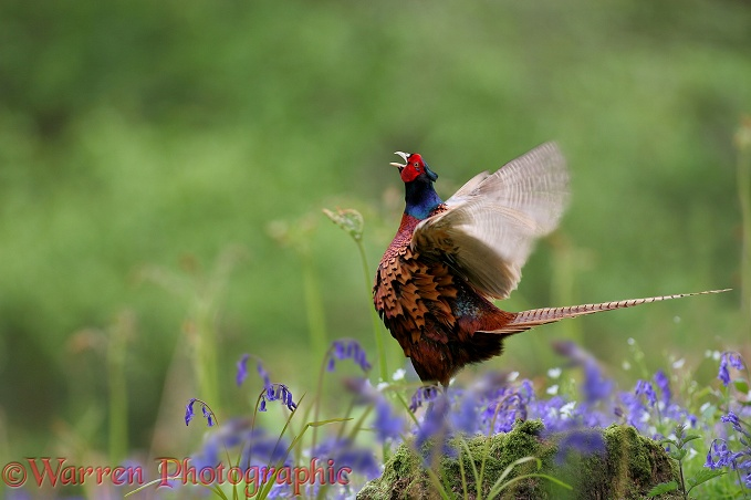 Game Pheasant (Phasianus colchicus) crowing and whirring wings.  Worldwide