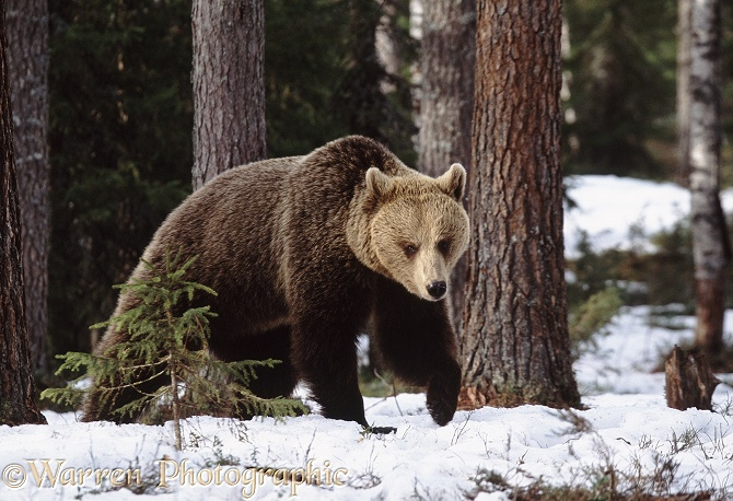 Brown Bear (Ursus arctos) searching for food as the snow melts in spring, Finland.  Europe, Asia and N. America