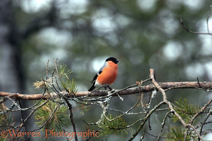 Bullfinch (Pyrrhula pyrrhula) male on pine in early spring, Finland.  Europe, Asia