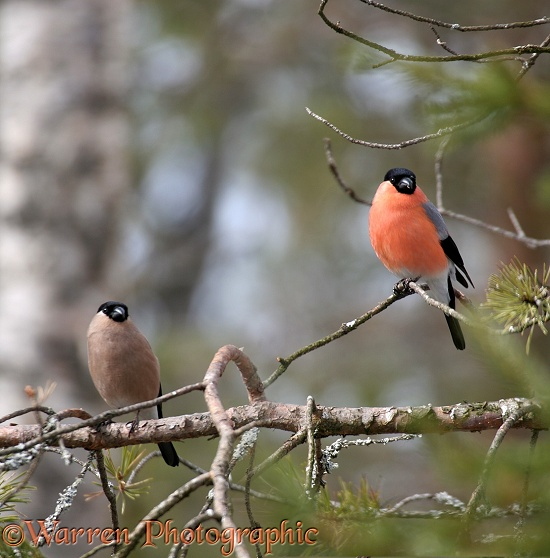 Bullfinch (Pyrrhula pyrrhula) pair on pine in early spring, Finland.  Europe, Asia