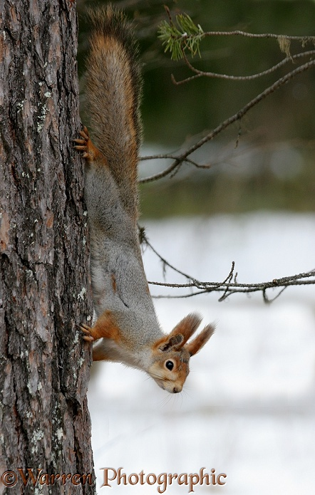 Red Squirrel (Sciurus vulgaris) moulting out of winter coat in spring, Finland.  Europe, Asia