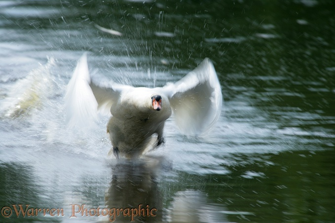 Mute Swan (Cygnus olor) cob taking off.  Europe, Asia and N. America