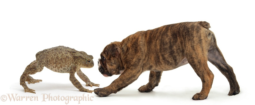 Brindle Bulldog pup facing off a large Common Toad (Bufo bufo), white background