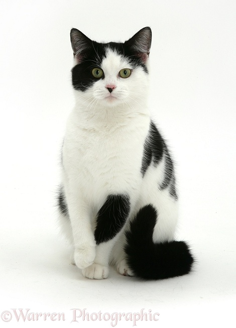 Black-and-white cat, white background