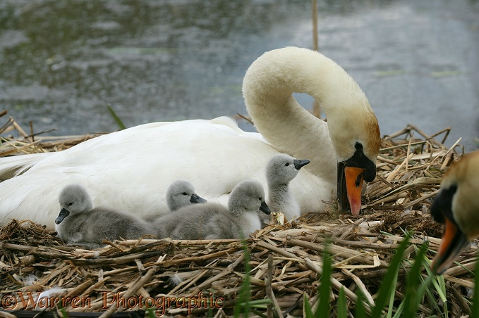 Mute Swan (Cygnus olor) day old cygnets with pen.  Europe, Asia and N. America
